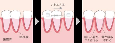 歯が動くしくみ